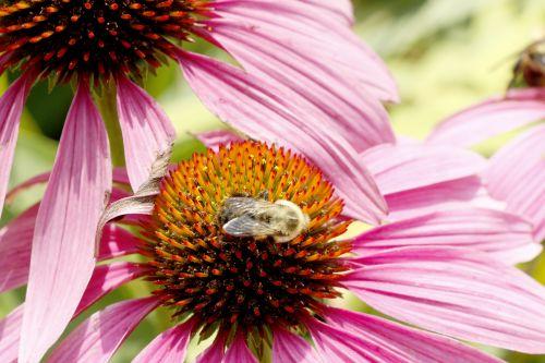 bičių, nektaras, žiedadulkės, gėlė, gėlių galva, vabzdys, Iš arti, gamta, flora, lauke, bitė ant gėlių galvos