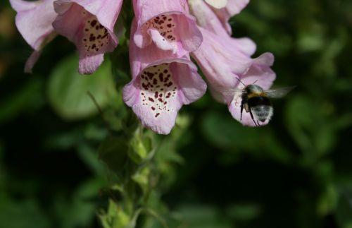 bičių, gėlė, žiedadulkės, augalas, rožinis, sodas, gamta, makro, skrydis, vasara, bitė ant dygliuotos gėlės