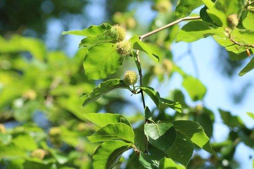 buko, medis, bukų vaisių, pobūdį, pavasaris, žalias, augalų, augmenija, augmenija