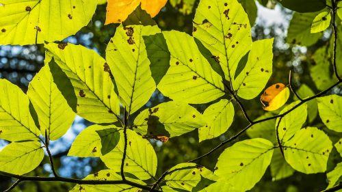 buko lapai,lapų struktūros,venos,knygų industrija,šviesus,pavasaris,lapai,ūgliai,dygsta,jauni buko lapai,lapo struktūra,lapuočių medis,žalias lapas,augalas,augimas,bukas,žalias,filialas,medis,buko lapas,lapai,lapuočių miškas,gamta,struktūra,struktūros,paviršius,fonas