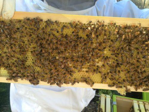 bitininkas,medus,bitės,bitininkystė,avilys