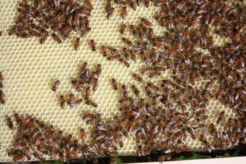 bitės,bitininkystė,medus,bitininkas