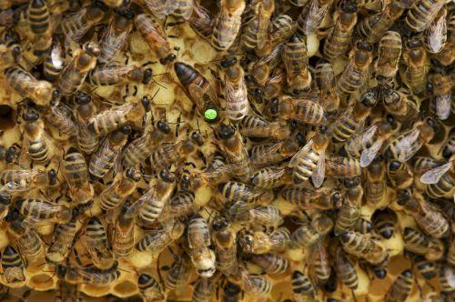 bitės,Bitė motinėlė,avilys,korio rupiniai,bitininkystė,karalienė,medus bitės,vabzdys,Carnica,šukos,sunkiai dirbantis,medus