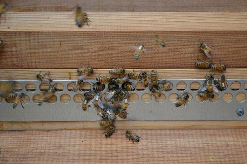 bitės,medus bitės,mohawk bitės,buckfast bitės,auksinis,vabzdys,avilys,pelių apsauga,mediena,Iš arti