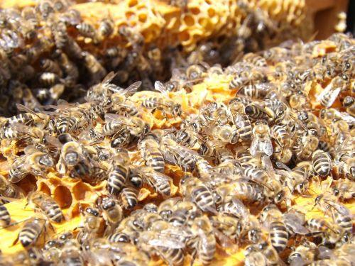 bitės,avilys,bitininkystė,medus,užsiėmes,medus bitės,kolonija,daug,vabzdžiai,swarm