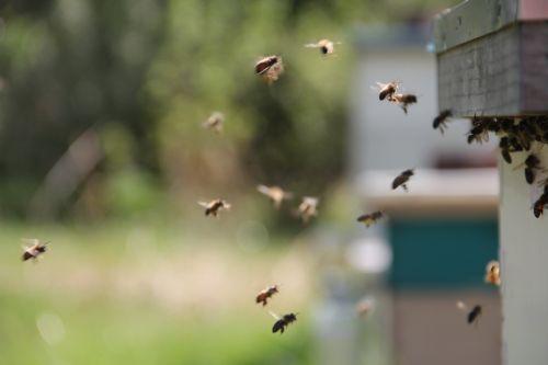 bitės, medus bitės, skrydis, medus, vabzdys, geltona, gamta, Buzz, stinger, šerti, skristi