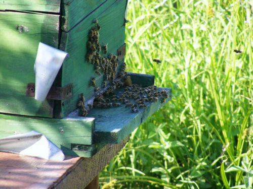 bitės,avilys,avilys,swarm,vabzdžiai,skraidantis,medus,bitininkystė,ūkis,ekologiškas,bičių vaškas,Žemdirbystė,kolonija,bitininkas,gamta,išplistų,bičių avilys,bičių laikytojas,bitininkystė,bičių vaškas,medaus BITĖ,žiedadulkės