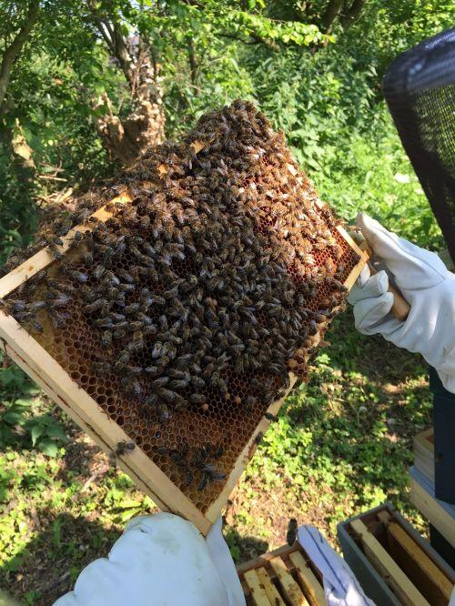 bitės,bitininkas,korio rupiniai