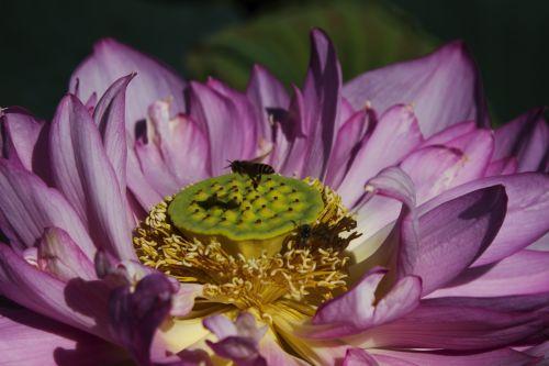 gėlė, vakarus ežeras, hà & nbsp, nội, amateurpic, lotosas, bičių, bitės ir lotosas