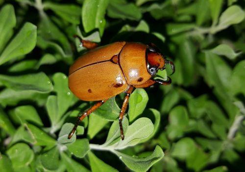 vabalas,vynuogių vabalas,dygliuotas vabaliukas,spotted pelidnota,klaida,vabzdys,Iš arti,skraidantis vabzdys,sparnuotas vabzdys,gamta,gyvūnai,entomologija,rutelinae,pelidnota punctata