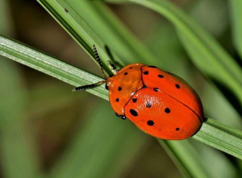 vabalas,klaida,vabzdys,argus vėžlių vabalas,padaras,gyvūnas,gamta,laukinė gamta,pastebėtas vabzdys,raudonas vabzdys,oranžinis vabzdys,sparnuotas vabzdys,skraidantis vabzdys,vabzdžiai,antenos,žolė,biologija,nariuotakojų,entomologija,chelymorpha cassidea