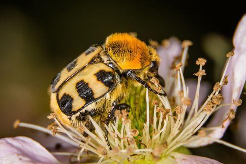 vabalas,šepečių vabalas,makro,gamta,vabzdys,Uždaryti,gėlė,vabzdžių makro,žiedas,žydėti,geltona,gyvūnų pasaulis