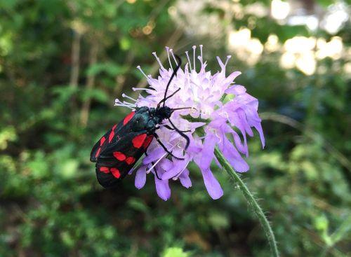 vabalas,gėlė,gamta,vabzdys,vabzdžiai,kirminai,juoda,makro,vabalas,vabalas,raudona