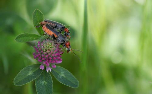 vabalas,vabzdys,makro,poravimas,vabzdžių nuotrauka,daugyba,žalias,vabzdžių makro,Uždaryti,makro nuotrauka,augalas,gyvūnai,gyvūnas,fauna,klee,žiedas,žydėti,aštraus gėlė,laukinės vasaros spalvos,gėlė,laukinė gėlė,rožinis,flora,gamta