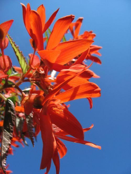 Begonia,žiedas,žydėti,dekoratyvinis augalas,šviesus,gėlės,drakonas liežuvis,spalvinga,Balkonų gamykla,kabantis augalas,dangus,terasos gėlės,vasara,augalas,dangaus mėlynumo,vasaros augalas