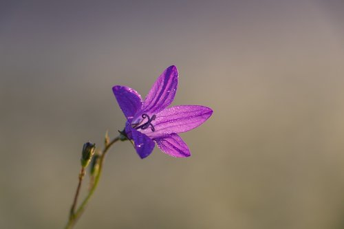 varpas, gėlė, makro, augalų, graži gėlė, žydi, pobūdį, violetinė, minkštas pagrindas