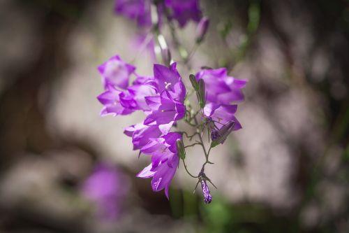 varpelė,violetinė,violetine svogūnėlė,bellflower šeima,campanulaceae,gėlė,gėlės,gėlė violetinė,purpurinė gėlė,sodas,Sode,gamta,augalas,Uždaryti