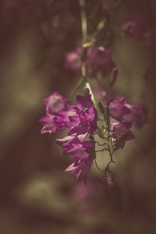 varpelė,violetinė,violetine svogūnėlė,bellflower šeima,campanulaceae,gėlė,gėlės,gėlė violetinė,purpurinė gėlė,sodas,Sode,gamta,augalas,Uždaryti,mistikas,mistinis