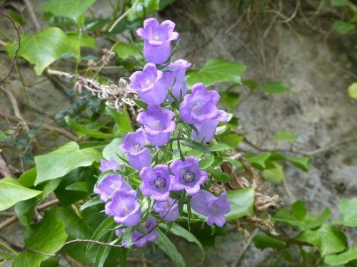 varpelė,gamta,gėlės,violetinė,augalai,vasaros gėlės,flora,campanula,purpurinės gėlės,spalvos,laukinės gėlės,žali lapai,varpai,Aude,žydėjimas,gorges de pierre lys,mėlynas