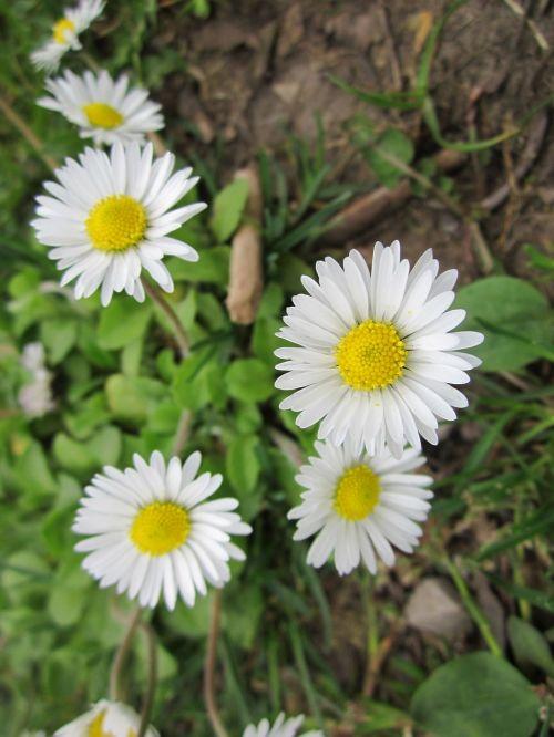 bellis perennis, anglų daisy, bendra daisy, vejos darželis, žaizdas, sumuštinis, flora, wildflower, Daisy, rūšis, botanika, žydi