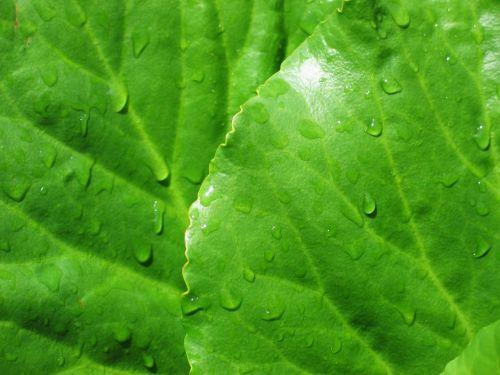 bergenia,lapai,žalias,lietaus lašai,šlapias,fonas,tapetai,makro,bergenia cordifolia