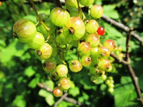 uogos,sodo serbentų,ribes rubrum,maistas,minkšti vaisiai,skanus,valgyti,rūgštus