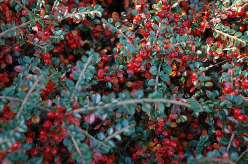 uogos,ruduo,kumelėlis,uogos,kritimas,gamta,augalas,filialas,raudona