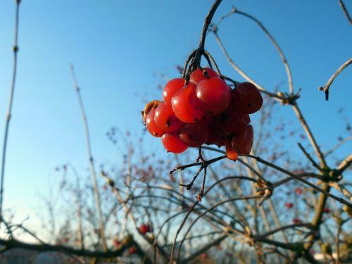uogos, augalas, vaisiai, raudona, pavasaris, filialai, uogų raudona