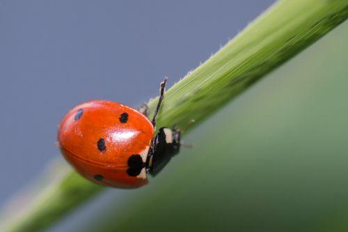 Boružė, berniukas, coccinella & nbsp, rugspunctata, elytra, raudona, sparnai, vabzdžiai, skristi, gamta, gyvenimas, žolė, žalias, Boružė