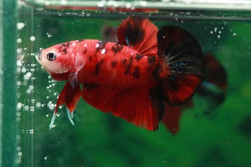 betta,žuvis,hmpk