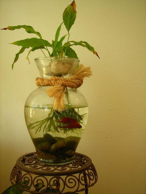 betta žuvis,žuvis,betta,vandens,atogrąžų,raudona,vanduo,maudytis,tajų,splendens,Patinas,egzotiškas,gamta,gyvūnas,akvariumas
