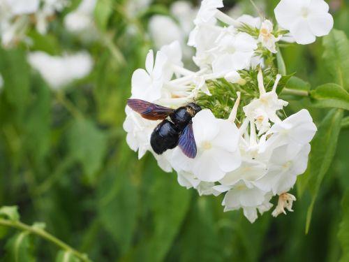 didelis mėlynas medinis bičių,mėlyna juoda medinė bičių,violetinės sparnos medžio bičių,xylocopa violacea,bien,dailidės bičių,ksilokopas,apidae,raudonasis sąrašas,nykstantis,nykstančios rūšys,išankstinio perspėjimo sąrašas