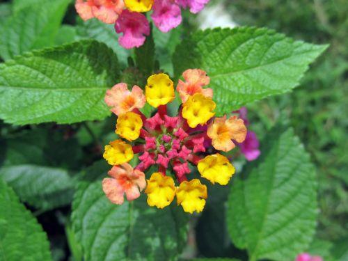 didelis grybas,lantana camara,gėlės,laukinis šalavijas,raudonasis šalavijas,baltasis šalavijas,česnakai,spalvoti,raudona,geltona,rožinis,violetinė,mažas,žydi,žiedai,sudėtingas,žiedlapiai