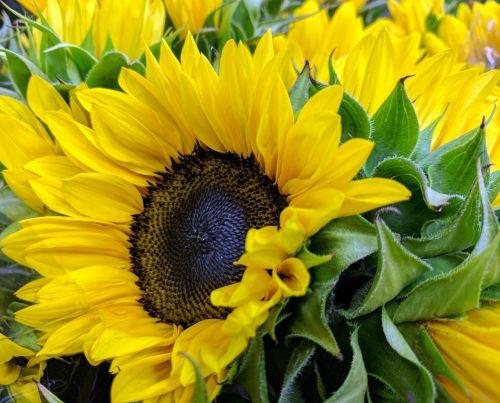 saulėgrąžos, saulėgrąžos, gėlės, laukinės vasaros spalvos, geltona, didžiosios geltonos saulėgrąžos
