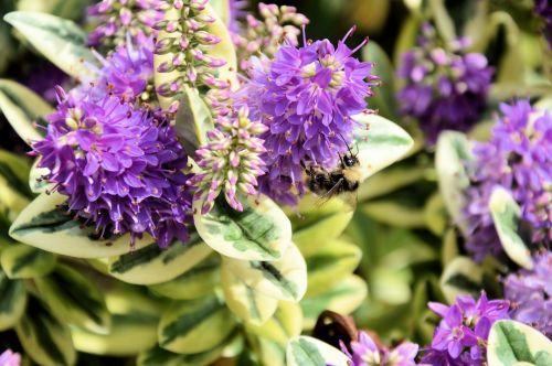 gamta, bičių, gėlė, apdulkinimas, reprodukcija, maistas, bitė ant gėlės