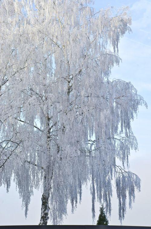 beržas,medis,žiema,ledas,ledas,šaltas,šaltis,balta,gamta,žiemos medžiai,Ledo šaltumo,sniegas,snieguotas,filialas,ledinis,saulės šviesa,žiemos magija,žiemos medis,dangus,sniego magija,ledinis