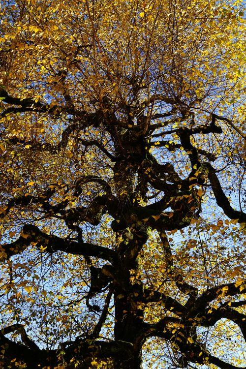 beržas,gnarled,senas,medis,Haunting,žurnalas,filialai,estetinis,lapai,kritimo lapija,betula,beržo šiltnamio,Betulaceae,šviesos medis,lichtholz tipo,pakabos beržas,betula pendula,smėlio beržas,baltas beržas,karpis beržas,vasaros žalia lapuočių medis,lapuočių medis,ornamentinis medis,verkiantis beržas
