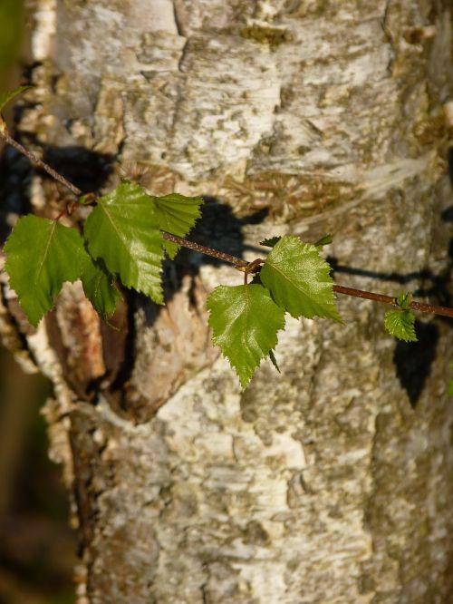 beržas,žievė,medis,gamta,žurnalas,gentis,balta,medžio žievė,mediena,struktūra,miškas,beržo liemenė,beržo žievė,balta žievė,lapai,saulė,filialai,pavasaris,žalias