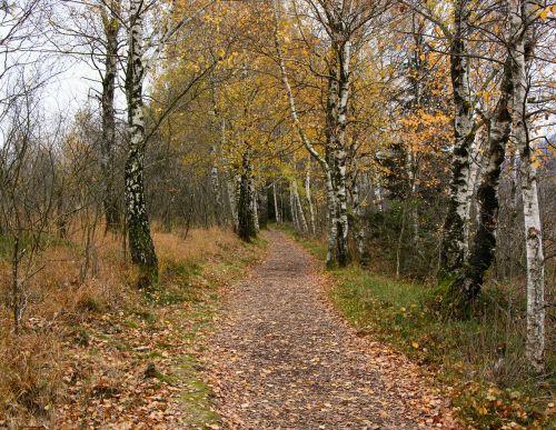beržas,beržo miškas,toli,gamta,žygiai,takas,miškas,ruduo,gamtos takas,juostos,Promenada,miško takas,gamtos rezervatas