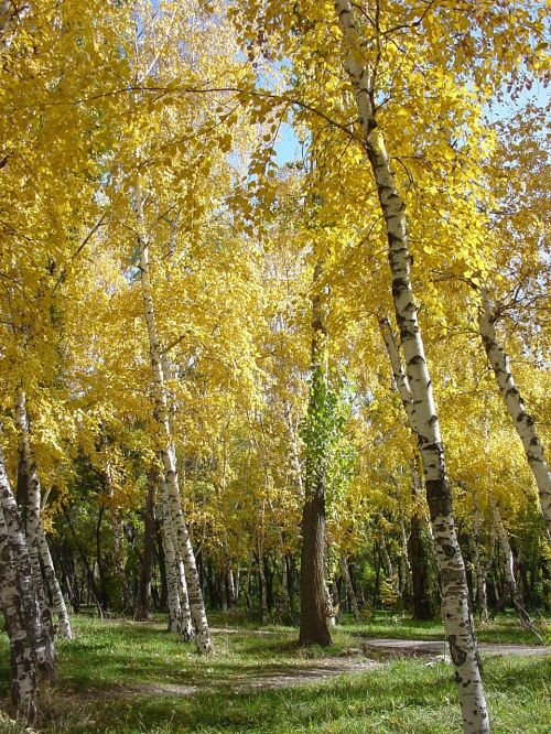 beržas,ruduo,parkas,medžiai,aukso ruduo,lapai,geltona