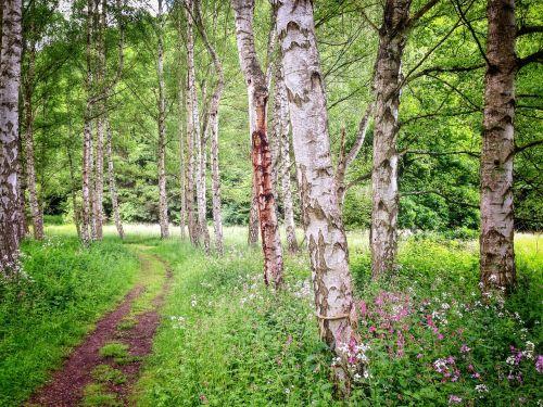 beržas, miškas, vasara, gamta, žalias, medžiai, toli, beržo miškas, miško takas, takas, Sachsen, Promenada, kraštovaizdis, miško takas, idilija, gamtos takas, Hunsrück, idiliškas, žygiai, žalia, atmosfera