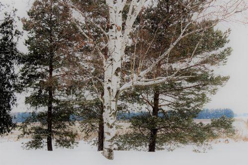 beržas,sniegas,padengtas,žiema,kraštovaizdis