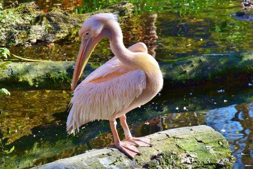 pelikan,paukštis,laukinis paukštis,vanduo,vandens paukštis,gamta,tvenkinys,laukinis gyvūnas,padaras,gyvūnų pasaulis,gyvūnas,plumėjimas,plaukti,zoologijos sodas,gaubtas,laukinės gamtos fotografija