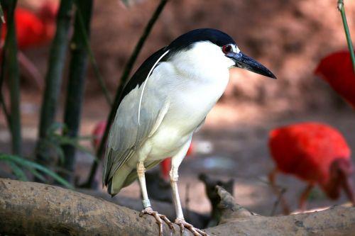 paukštis,atogrąžų,striated heron,žuvies ėdalas,žuvų valgymo paukštis,atogrąžų paukštis