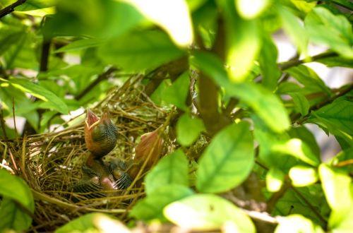 paukštis,lizdas,Paukščių lizdas,gamta,lizdo kiaušinis,gyvūnas,lauke,kūdikis,kūdikiai,namai,gyvenimas,Paukščių lizdas,trys,natūralus,birdhouse