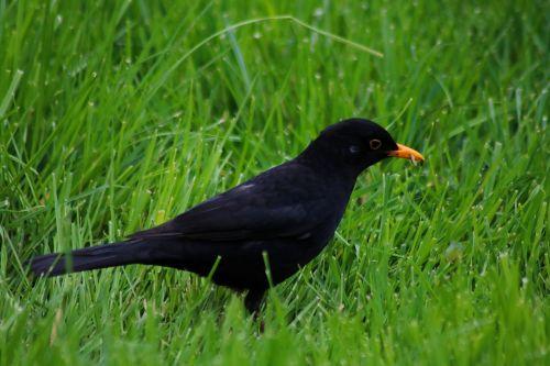 paukštis,juoda paukštis,tiesa,gyvūnas,žolė,juoda,gamta,pavasaris,valgyti,vasara,kirminas,sąskaitą,akis,sparnas,uodega,pieva,miestas,liejimas