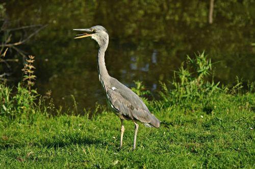 paukštis,heronas,mėlyna giraitė,snapas,ilgai,gyvūnas,fauna,laukinė gamta,vanduo