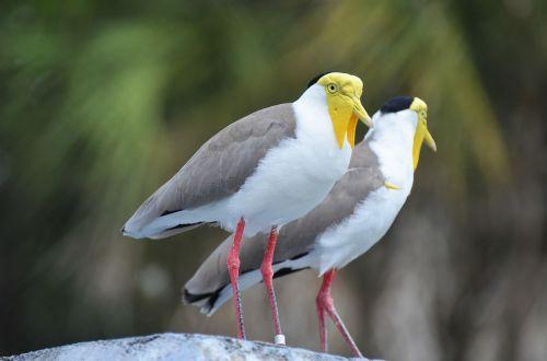 paukštis,egzotinė paukštis,geltonai paukštis,balta ir pilka paukštis,zoologijos sodas,gyvūnas,gyvūnai,snapas,fauna,ornitologija,spalvinga,spalva,plunksnos,gamta,plumėjimas,geltona,laukinis gyvūnas