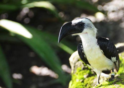 paukštis,juoda ir balta paukštis,egzotinė paukštis,gamta,laukiniai,ornitologija,gyvūnas,fauna,balta,gyvūnai,aviary,juoda ir balta,zoologijos sodas,juodos spalvos paukštis