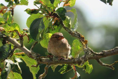 paukštis,filialas,žvirblis,gamta,laukiniai,medis,maitinimas,filialas,estetinis,gyvūnas